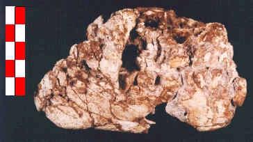07 Maxila y mandíbula neandertal (CG-1)